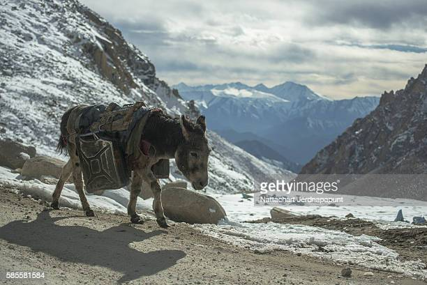 Donkey is carrying fuel cans in the mountains on the road Leh-Pangong