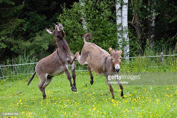 donkey kicking against male, equus asinus, bavaria, germany - donkey stock pictures, royalty-free photos & images