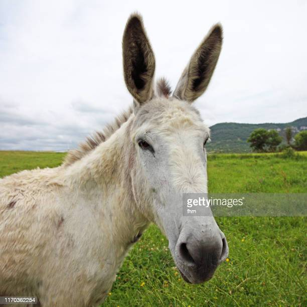 donkey looking to camera - donkey stock pictures, royalty-free photos & images