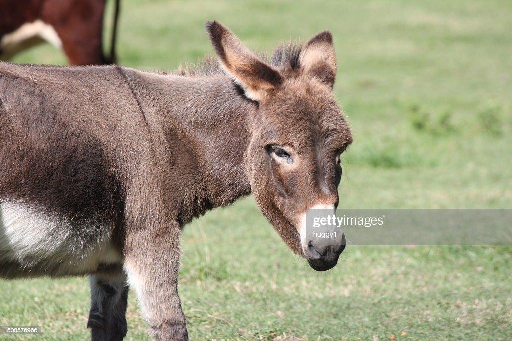Donkey, Miniature : Stockfoto