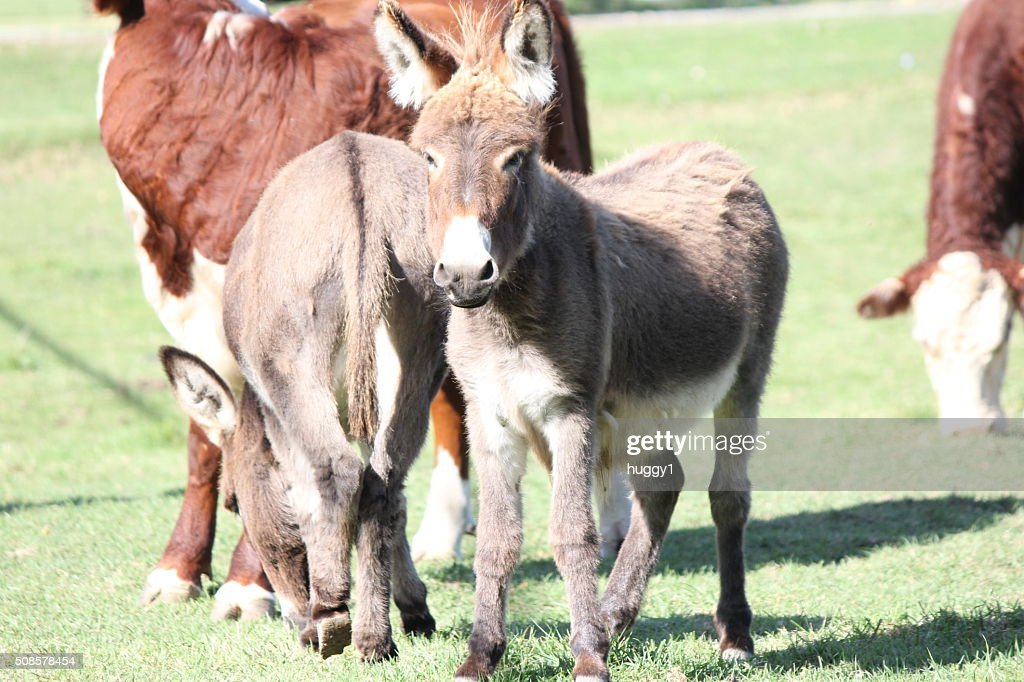 Donkey, Miniature : Stock Photo