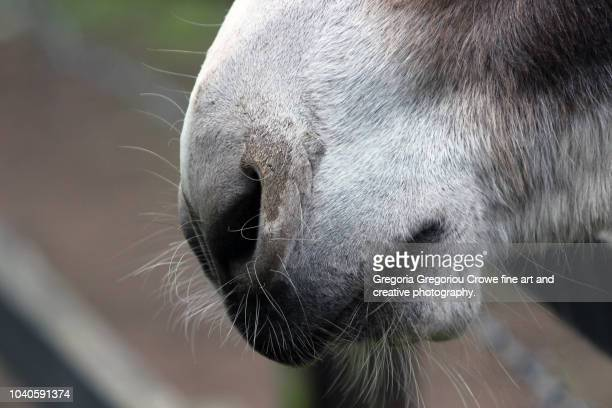 donkey mouth and nose - gregoria gregoriou crowe fine art and creative photography. stock pictures, royalty-free photos & images