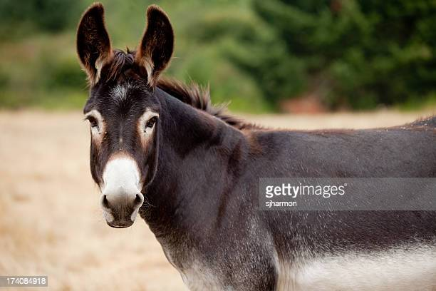 Donkey Mule Looking At Camera from Pasture