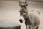 Donkey of brown color