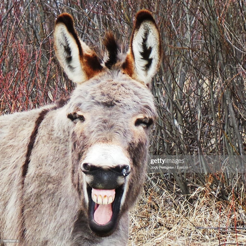 Donkey On Laughing On Field Against Dry Plants : Stock Photo