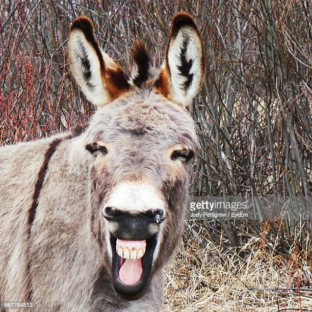 donkey on laughing on field against dry plants - esel stock-fotos und bilder
