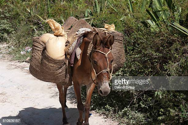 Donkey packing crops on the way to market.