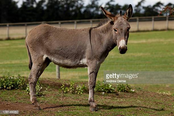 donkey - andrew dernie stock pictures, royalty-free photos & images