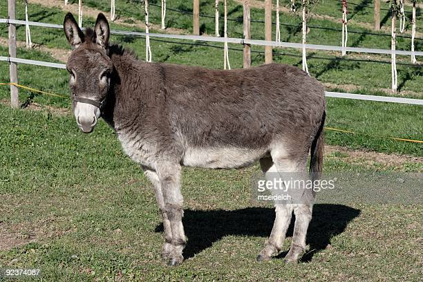 donkey - donkey stock pictures, royalty-free photos & images