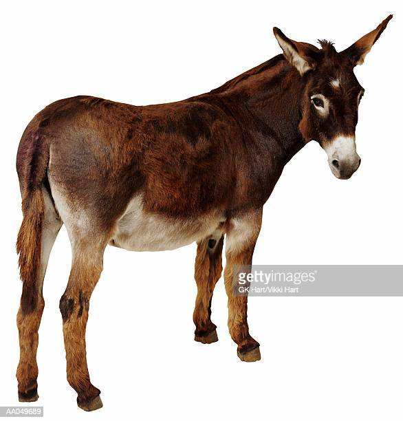 donkey (equus sp.) - jackass images stock pictures, royalty-free photos & images