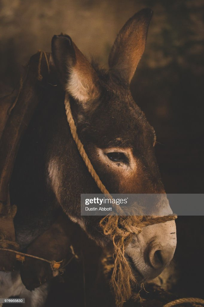 Donkey portrait, Betlehem, West Bank, Palestine : Stock Photo