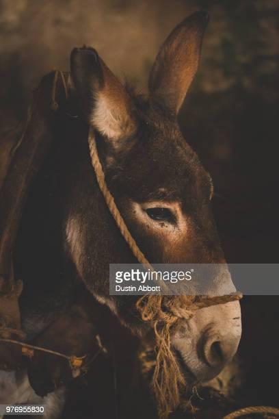 donkey portrait, betlehem, west bank, palestine - dustin abbott stock pictures, royalty-free photos & images