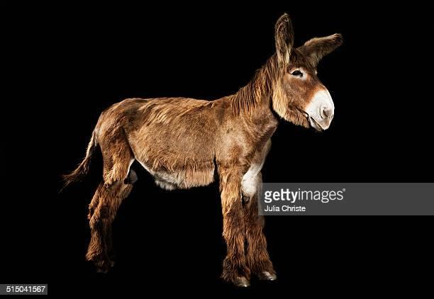 Donkey standing against black background