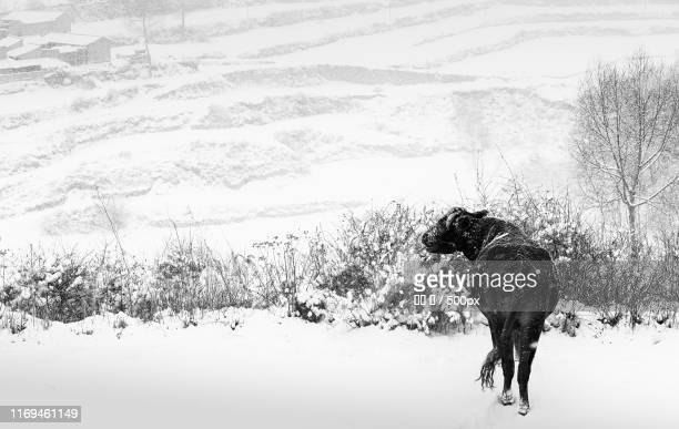 Donkey standing among snowcapped field