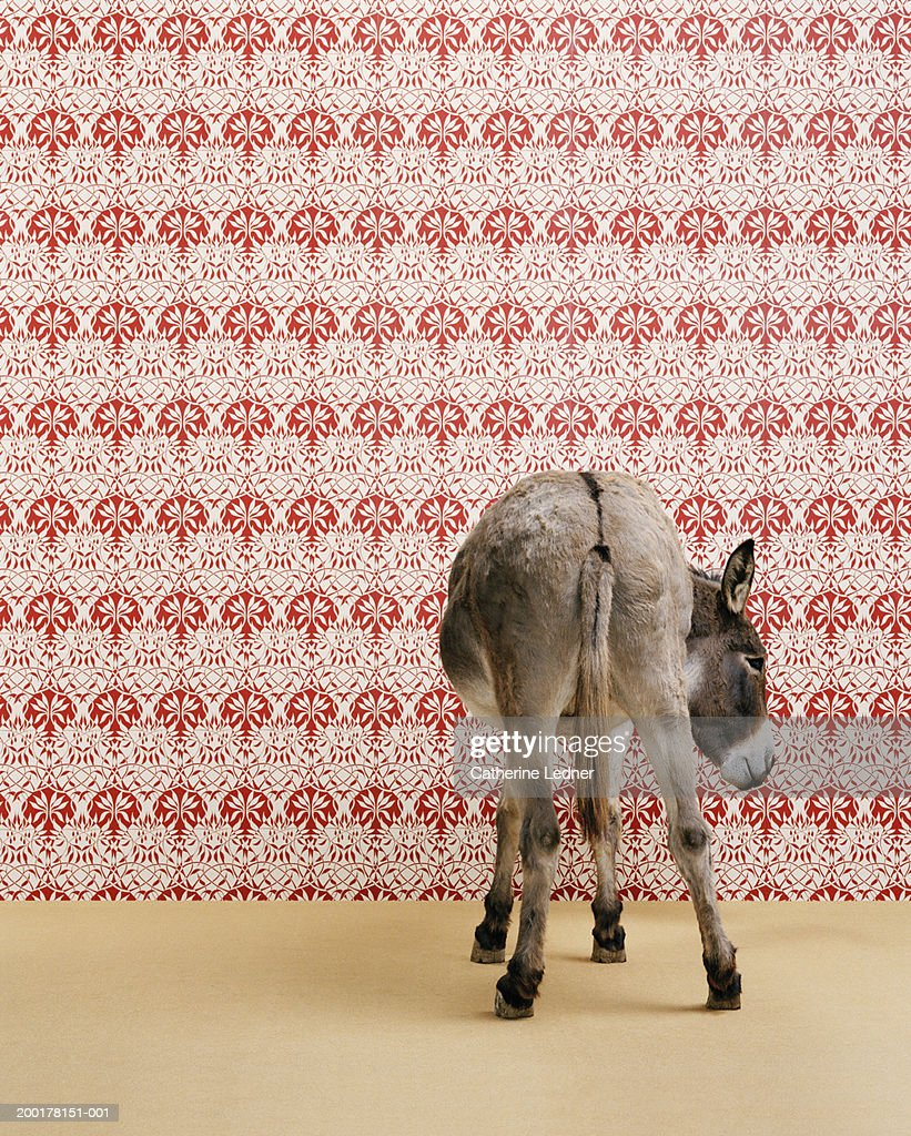 Donkey (Equua asinus) standing in studio, wallpaper in background : Stock Photo