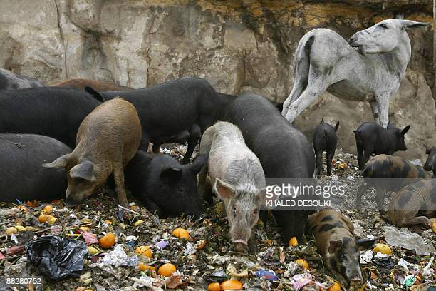 A donkey stands behind pigs eating garbage in an Old Cairo slum on April 29 2009 Egypt ordered the immediate cull of all pigs in the country as the...