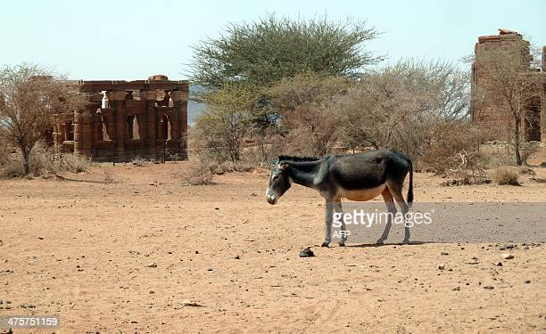 A donkey stands in front of ruins from the Meroitic era about 2000 years ago in the ancient ruined city of Naqa in the River Nile State on February...