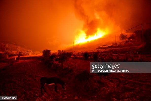 TOPSHOT A donkey stands near a wildfire at Monchique Algarve southern of Portugal on September 9 2016 Portugal's Algarve tourist region was the...
