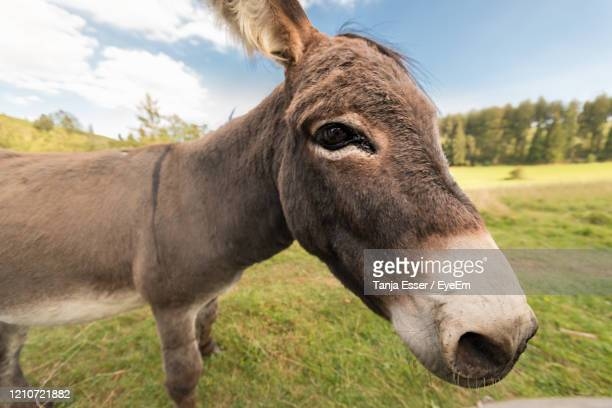 a donkey stands on the meadow in natural landscape. wide angle photo enlarges the head - vista lateral stock pictures, royalty-free photos & images