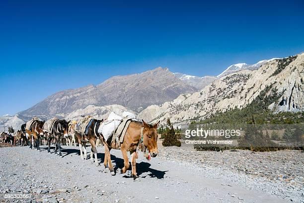 Donkey train, Annapurna circuit