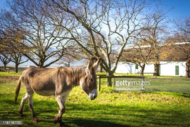 donkey walking in a field - esel stock-fotos und bilder
