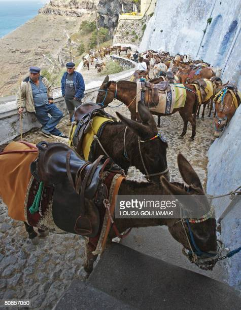 Donkeys and mules wait to give tourists a ride in the village of Fira the capital of the famous Cycladic island of Santorini on April 25 2008 The...