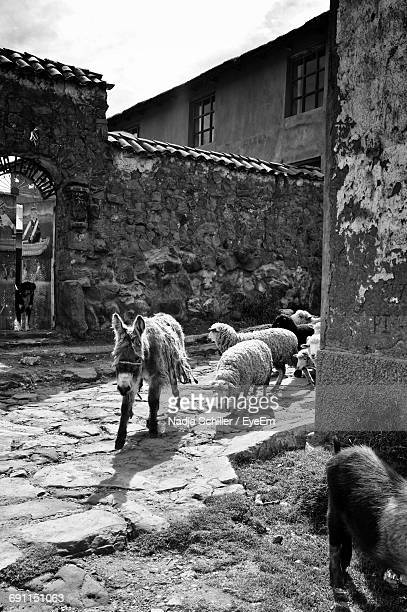 Donkeys And Sheep In Old Town