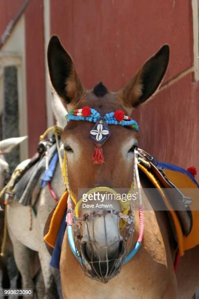 donkeys at Thira Santorini