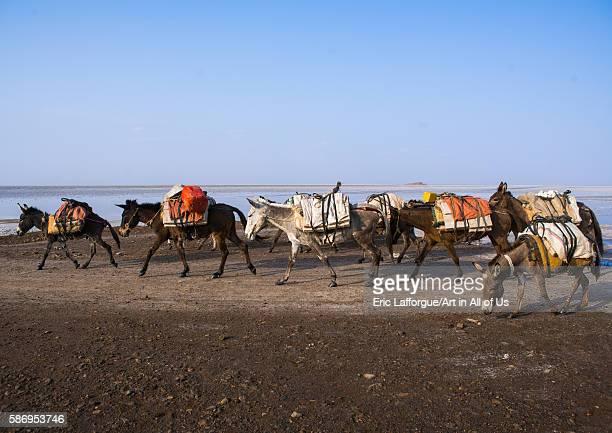 Donkeys caravan in the salt lake afar region dallol Ethiopia on February 25 2016 in Dallol Ethiopia