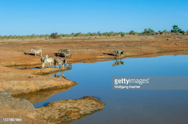 Donkeys drinking from a pond in the savannah landscape in the Sahel zone near the Bandiagara Escarpment in the Dogon country in Mali, West Africa.