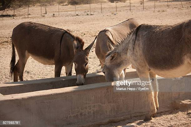 Donkeys Drinking From Trough