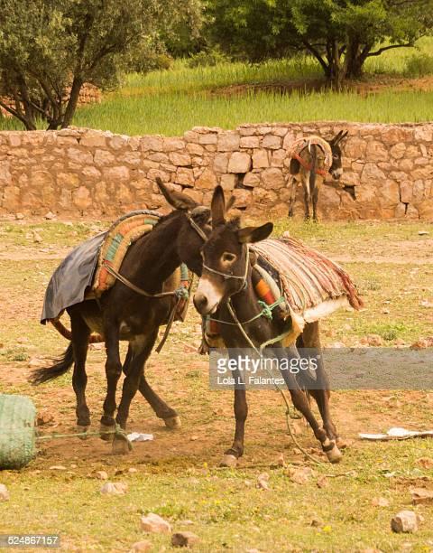 Donkeys fight