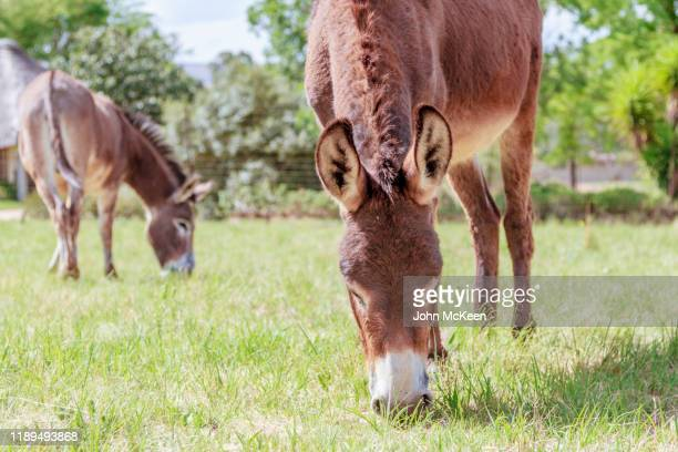 donkeys grazing - hairy bum stock pictures, royalty-free photos & images