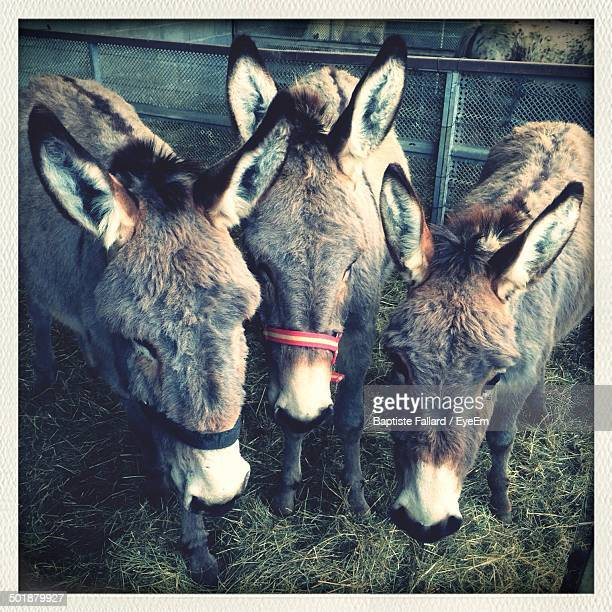 Donkeys grazing together in stable