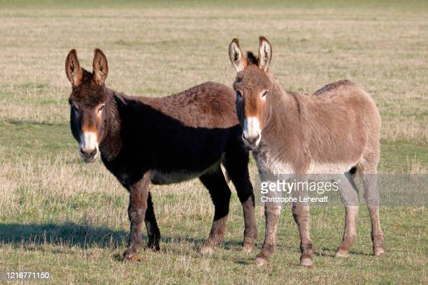 donkeys in a normandy's field - cotentin photos et images de collection