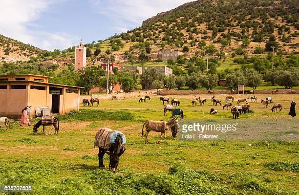 Donkeys in Azilal