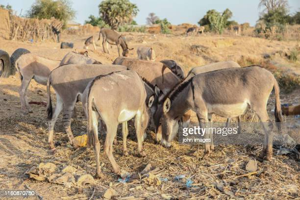 donkeys in their corner - domestic animals ストックフォトと画像