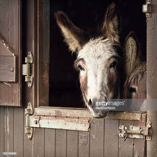 donkeys jockeying for position - morpeth stock pictures, royalty-free photos & images