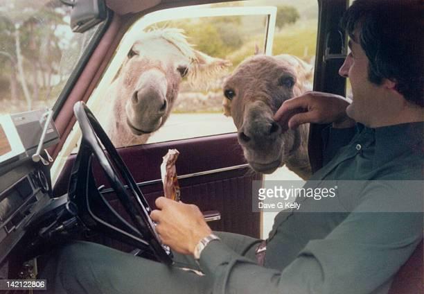 Donkeys looking into car