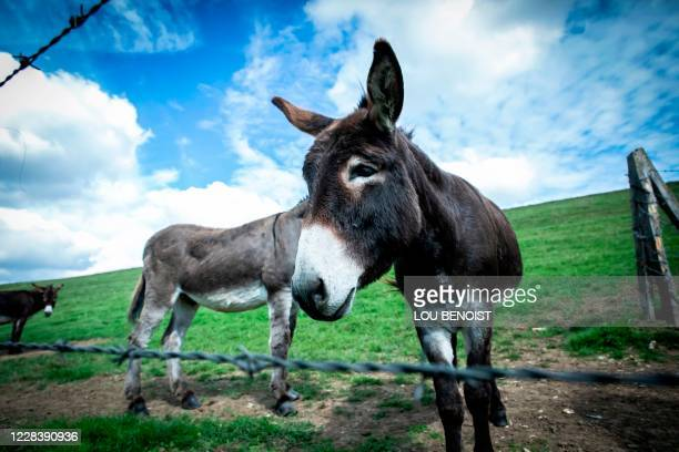 Donkeys of Loick Crampon, farmer, stand in a field, near Grumesnil, northern France on September 7, 2020. - One of Crampon's donkey has been attacked...