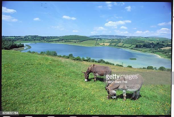 Donkeys on Ben Bulben Mountain