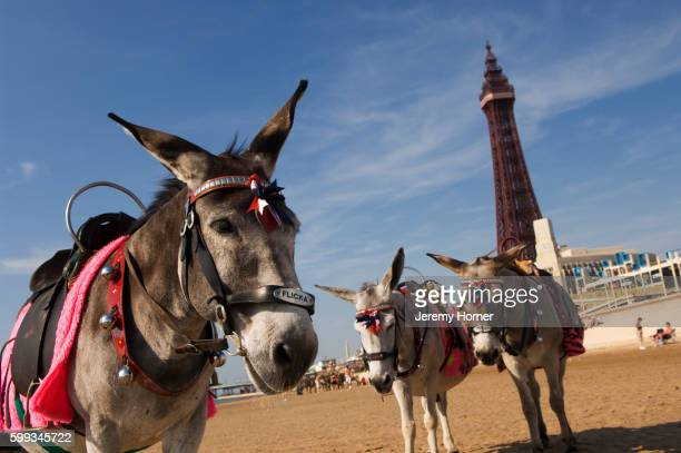 donkeys on the beach with blackpool tower in the background - archival stock pictures, royalty-free photos & images