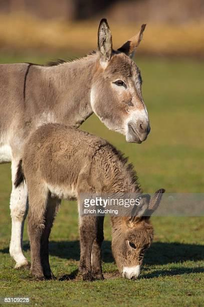 donkeys - esel stock-fotos und bilder