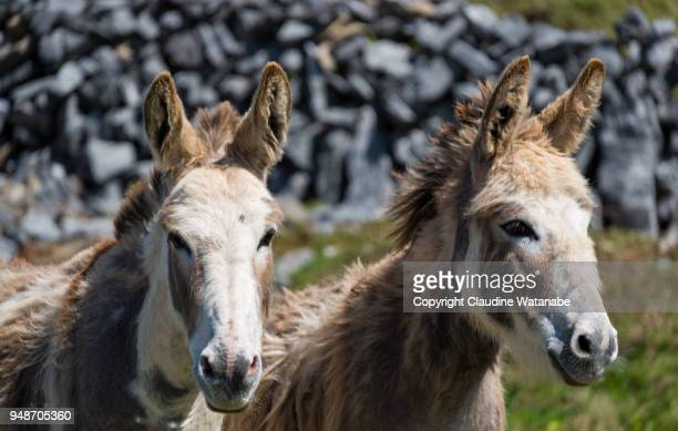 donkeys - county galway stock pictures, royalty-free photos & images