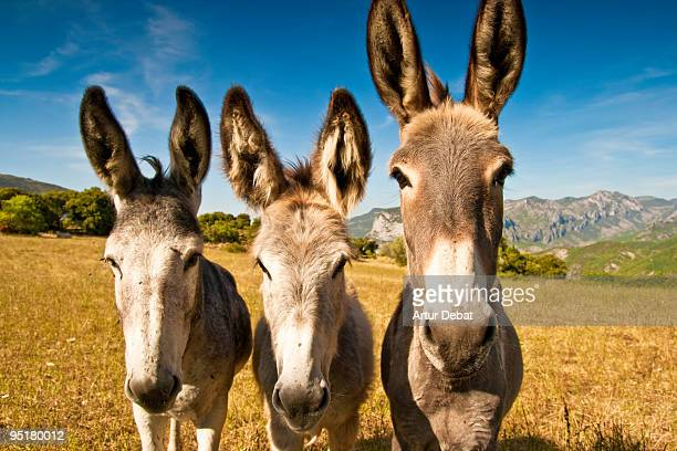 donkeys - donkey stock pictures, royalty-free photos & images