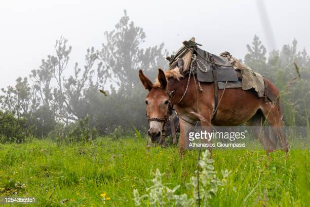 Donkeys resting near Spilios Agapitos refuge on July 04, 2020 in Olympus National Park, Greece. .