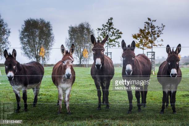 donkeys standing in row by fence in ebsdorfergrund, esel, germany - domestic animals stock pictures, royalty-free photos & images