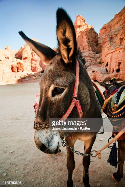 donkeys standing on field - working animal stock pictures, royalty-free photos & images