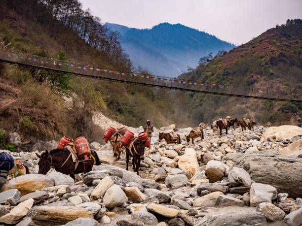 Donkeys transporting goods in the Himalayas, Nepal - March 2, 2017