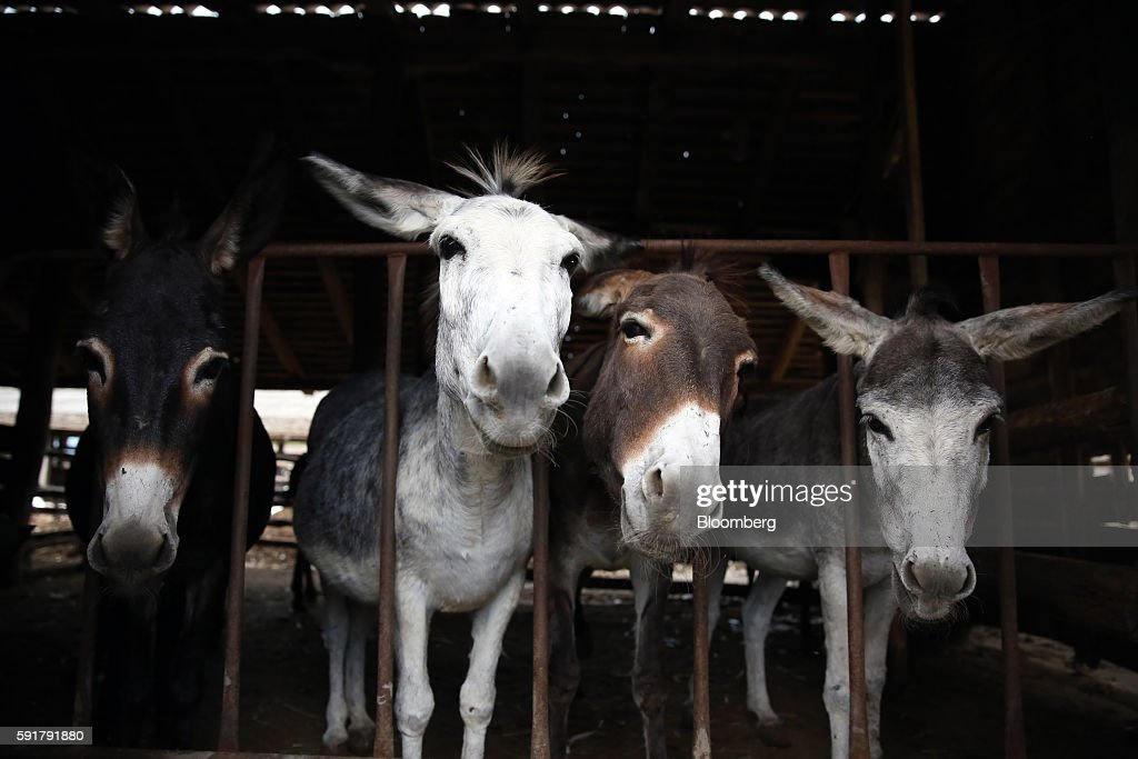Donkeys used for the production of Serbian donkey cheese, locally known as pule, stand in a barn at the Zasavica donkey farm in Zasavica, Serbia, on Wednesday, Aug. 17, 2016. Pule cheese is made from the milk of Balkan donkeys and is priced at 1100 euros per kilo and reported to be the world's most expensive cheese. Photograph: Oliver Bunic/Bloomberg via Getty Images